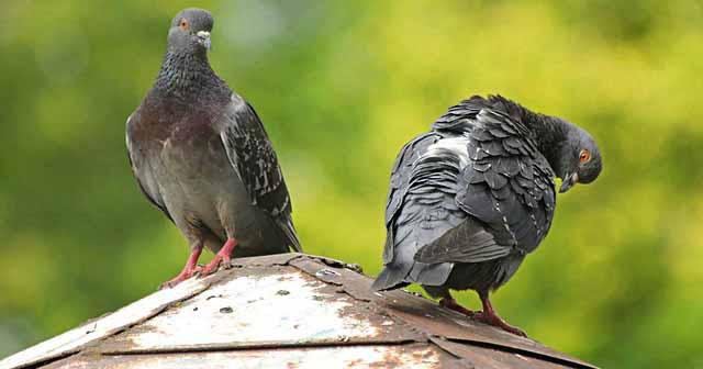 danni dei piccioni