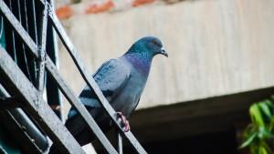 piccione sulla ringhiera di un balcone